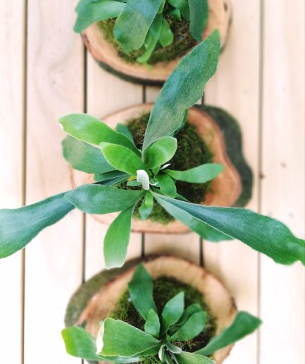 Mounted staghorn fern